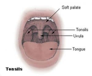 Diagram of the palatine tonsils from U.S. National Cancer Institute web site